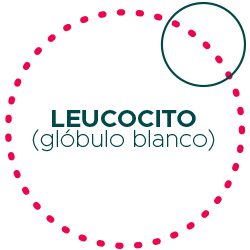 leucocito-globulo-blanco